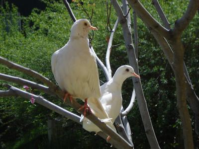 Doves, Tracy Aviary