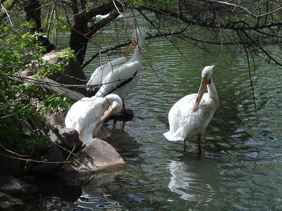 Pelicans, Tracy Aviary