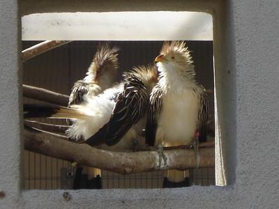 Guira Cuckoos, Tracy Aviary