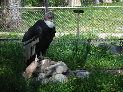Condor, Tracy Aviary