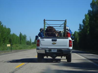 Llama on the road