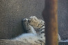 Snow Leopard feets