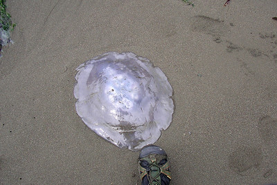 Big jellyfish (and my foot for scale).