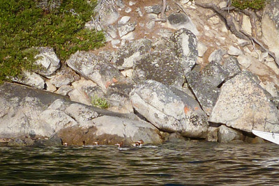A family of mergansers on a training paddle.