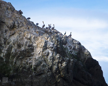Pelicans on Seal Rocks
