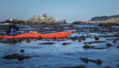 tangled in kelp