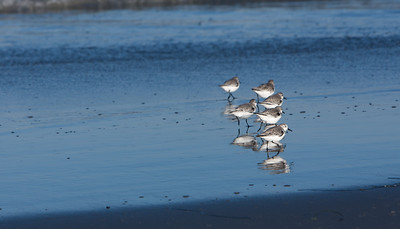 watching sandpipers skitter at the waterline