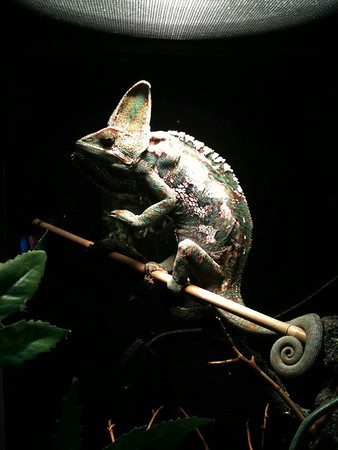 Harvey the chameleon