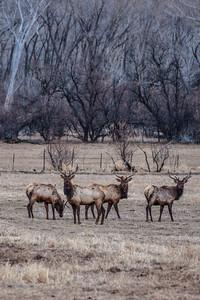 Some jumbo elk under Jumbo Mountain near Paonia, Colorado in the Elk Mountains