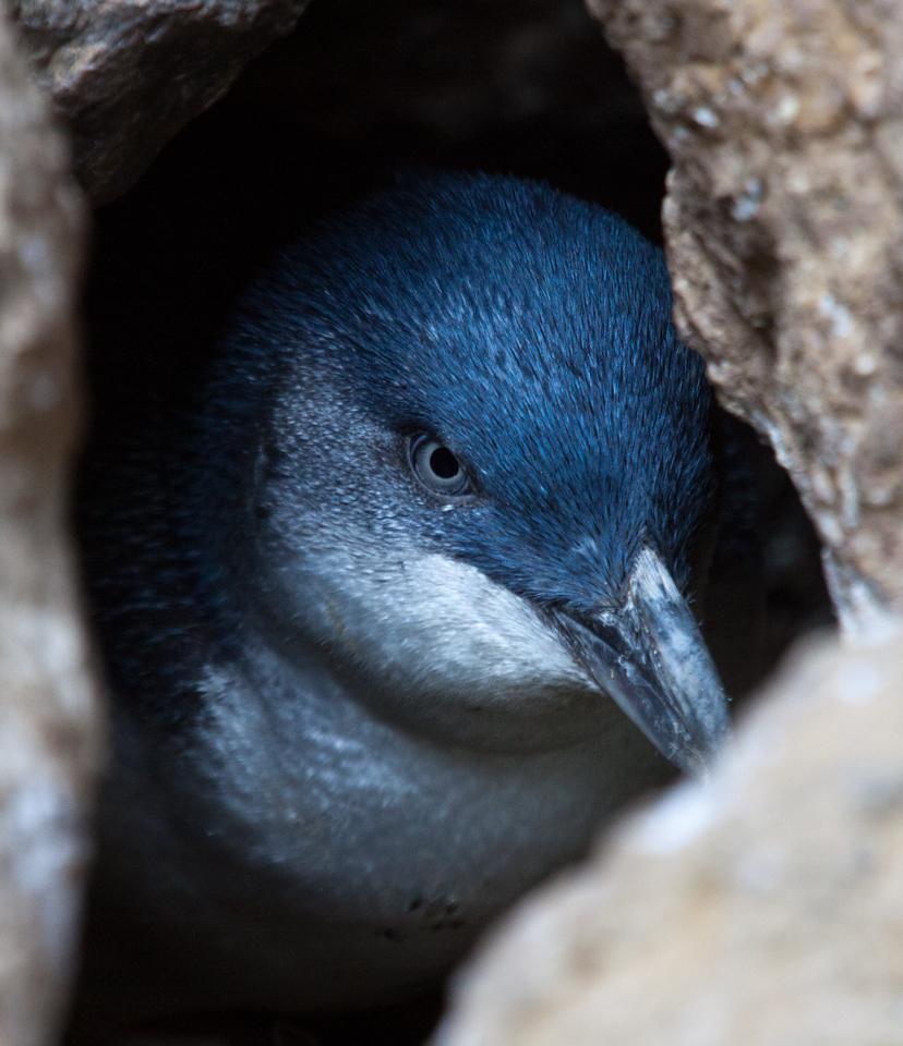 Blue Penguin, Otago Peninsula, South Island, New Zealand