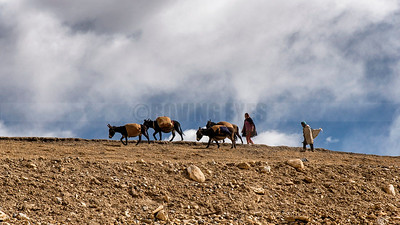 C29:People of Kibber,a village high in Spiti valley of Himachal Pradesh(elevation  4,270 m /14,010 ft)drive their herd of mules with loads to the neighboring village.