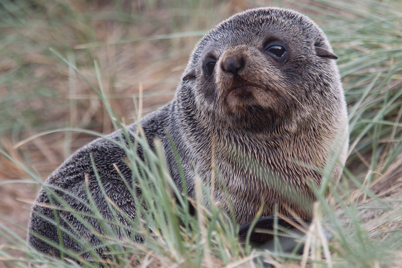 Fur Seal Pup, Otago Peninsula, South Island, New Zealand