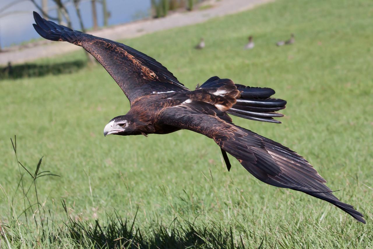 Wedge Tailed Eagle, Queensland, Australia