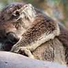 Koala Bear, Cape Otway, Victoria, Australia
