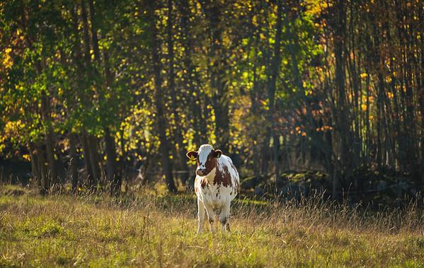 I Come Home, Cows Also