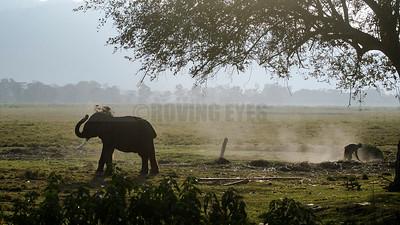 C23:A captive elephant throws dirt on itself playfully,one winter morning in Kaziranga Forest,Assam