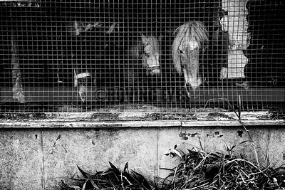 C20:Horses for hire,in their stable,wait for riders,in Darjeeling,West Bengal.