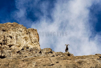 C26:An Ibex surveys its domain from the craggy hills in Spiti,Himachal Pradesh