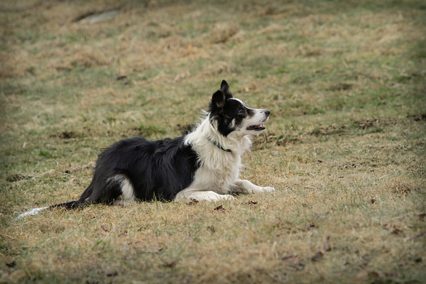 Lily, from Two Coves Farm, waits for direction while working sheep