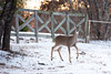 A doe in the evening light of east Parker County Tuesday.