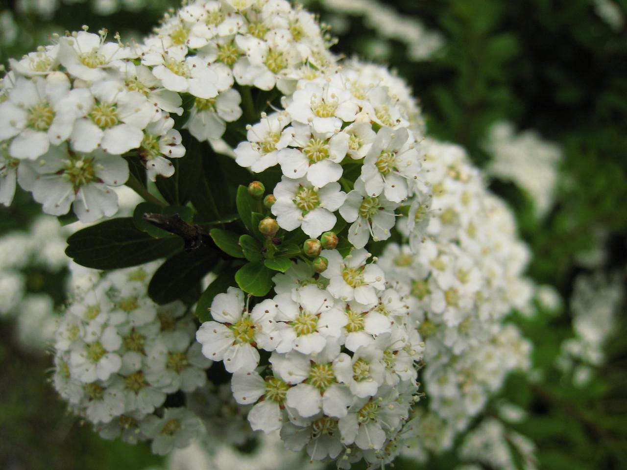 Flowers de la Blanc
