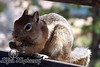 Yummy!<br /> Chipmunk at Bryce Canyon National Park