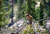 Lookout<br /> Chipmunk at Bryce Canyon National park