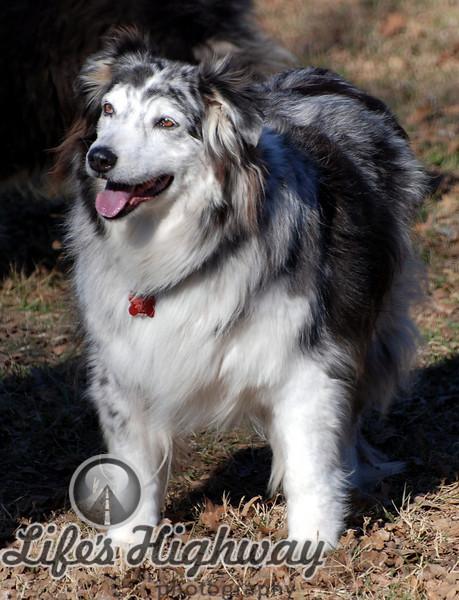 Sweetie<br /> Blue Merle Australian Shepherd