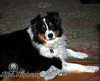Bailey<br /> Black Tri Australian Shepherd