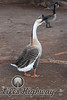Amarillo Goose<br /> Amarillo, Texas