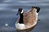 Canadian Goose II<br /> Amarillo, Texas