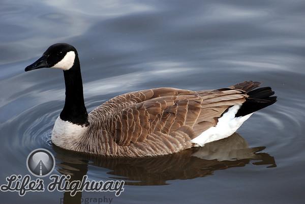 Canadian Goose I<br /> Amarillo, Texas