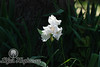Fancy White Iris III