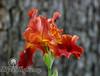 Cinnamon Iris I