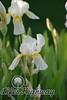 Amarillo Iris V