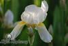 Amarillo Iris I