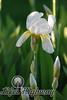 Amarillo Iris II