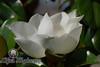 Summer Magnolia<br /> Southlake, Texas