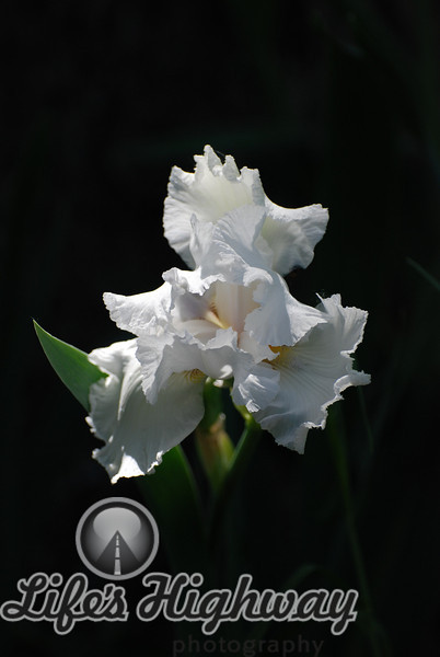 Fancy White Iris I