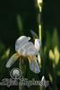 Amarillo Iris IV