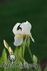 Amarillo Iris III