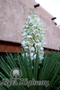 Yucca in Bloom<br /> Las Cruces, New Mexico