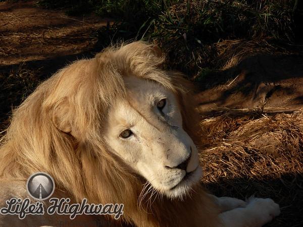 White Lion I