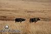 Cape Buffalo I