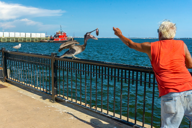 Robaire throws some chum to Penelope, the local celebrity at Palafox Pier, Pensacola FL 7/20/20 — in Pensacola, Florida.