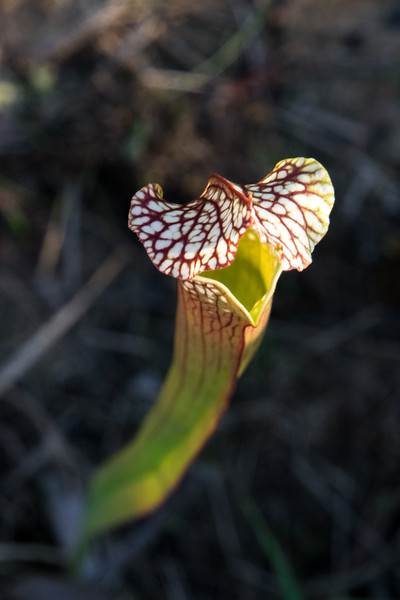 The bug-eating Pitcher Plant