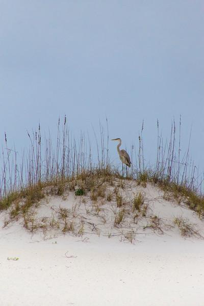 Blue Heron on a dune Santa Rosa Island