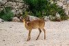 Key Deer on Long Key