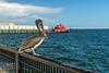Penelope, the local celebrity at Palafox Pier, Pensacola FL 7/20/20 — in Pensacola, Florida.