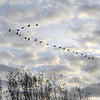 V-formation of geese departing the Kagerplassen for warmer climes, The Netherlands